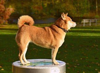 rasowy pies