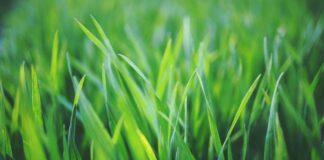 wertykulacja trawników