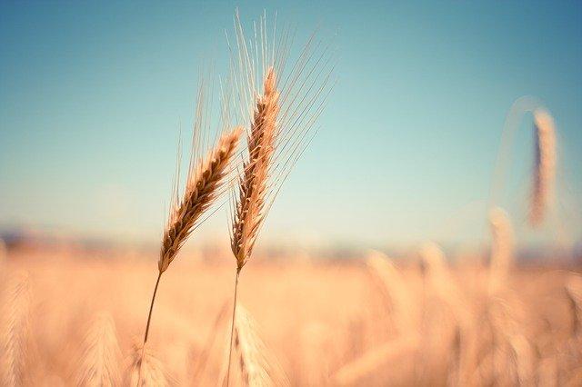 Jakie są objawy alergii na pszenicę?